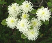 Fothergilla major / Höyhenpensas