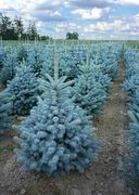 Picea pungens, 'Super Blue Seedling' / Hopeakuusi
