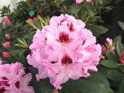 Rhododendron, 'Royal Butterfly' / Alppiruusu